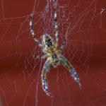 Spinne (Nahaufnahme)