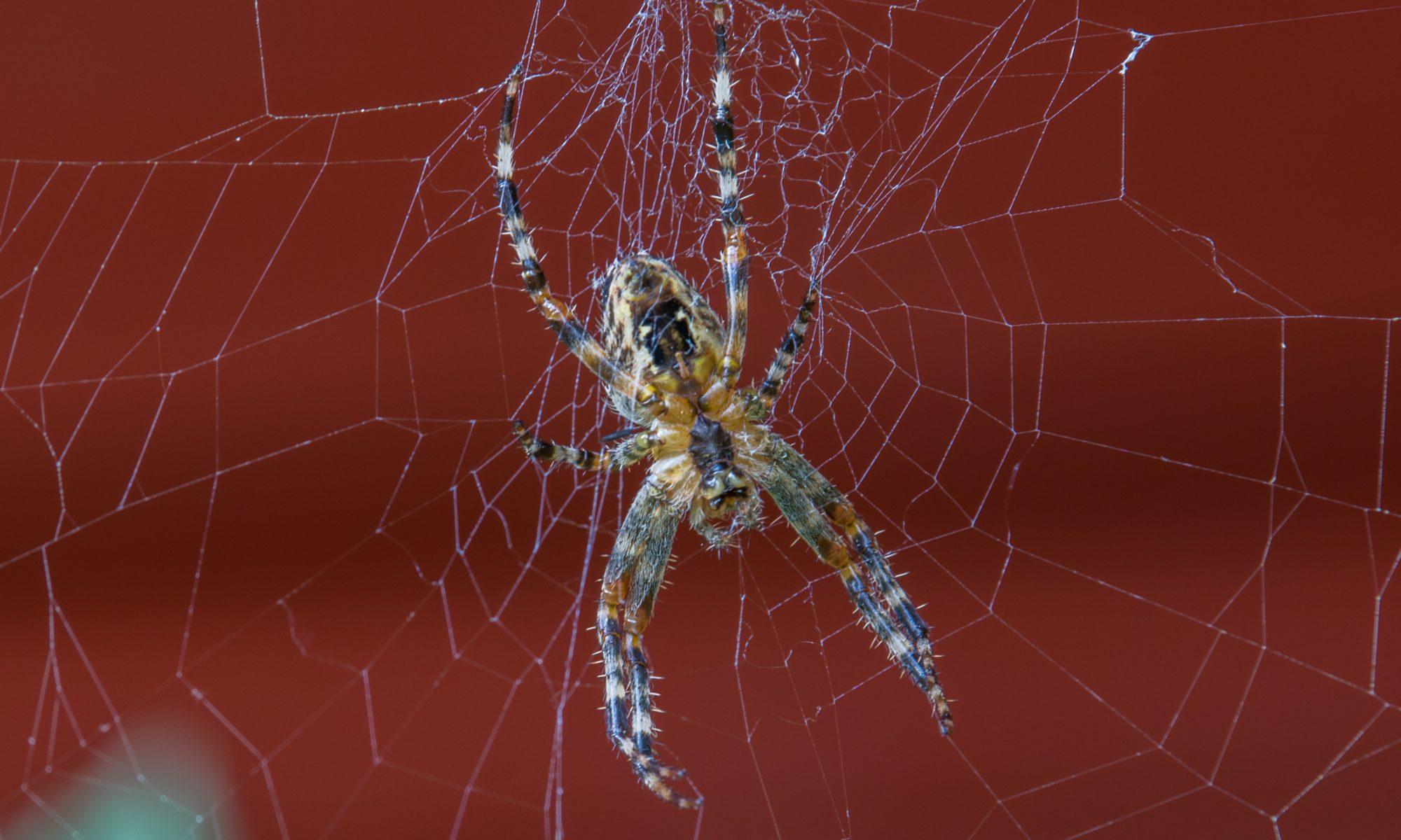 Nahaufnahme Spinne
